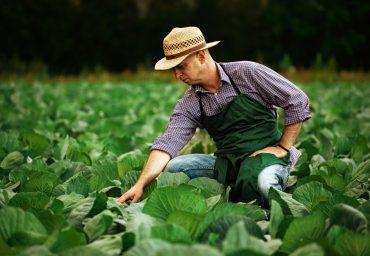 De ce cultiva agricultorii varza?